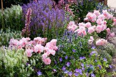 Garden ideas, Border ideas, Plant Combinations, Flowerbeds Ideas, Summer Borders, Rose Bonica, Rosa 'Bonica', Salvia Blue Hill, Salvia Snow ...