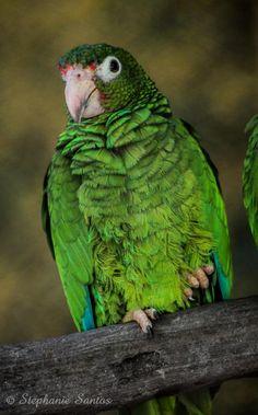 Birds Parrots Puerto Rican Amazon (Amazona vittata) An Amazona vittata in the zoo.