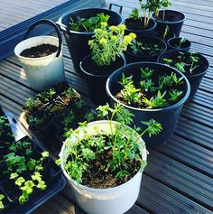Istutusurakka! Näin hyvin lähtivät perennojen juurakot kasvamaan! #viherpiha #kevät #puutarha #perenna