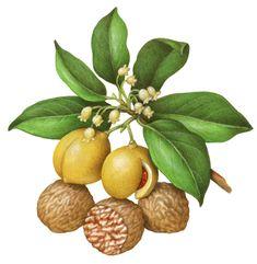 Botanical illustration of nutmeg with leaves, flowers, fruit and nuts.