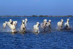 wild horses running in water | Camargue horses running through water
