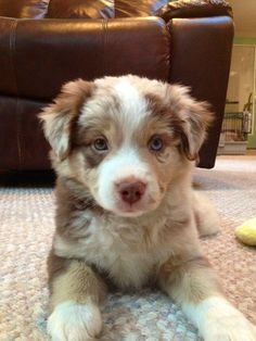 Chloe ~ Australian Shepherd Pup ~ Classic Look.I had a border collie pup I named Chloe this color! Cute Dogs And Puppies, I Love Dogs, Puppy Love, Doggies, Adorable Puppies, Cute Puppy Pics, Pet Dogs, Cute Funny Animals, Cute Baby Animals
