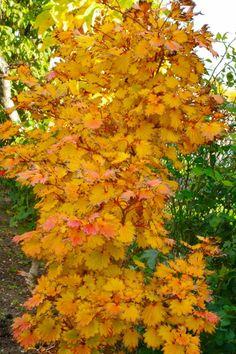 Autumn moon Japanese maple Acer Trees, Deciduous Trees, Trees And Shrubs, Japanese Tree, Japanese Maple, Garden Shrubs, Garden Trees, Unusual Plants, Cool Plants