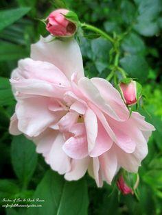 Fairy Rose in the June Garden ~ Our Fairfield Home and Garden   http://ourfairfieldhomeandgarden.com/june-garden-our-fairfield-home-garden/