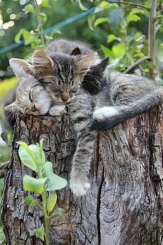 Three cute kittens sleeping on a old stump. Kittens love to cuddle. Cats are so precious. Cute Cats And Kittens, I Love Cats, Crazy Cats, Cool Cats, Kittens Cutest, Tabby Kittens, Fluffy Kittens, Pretty Cats, Beautiful Cats