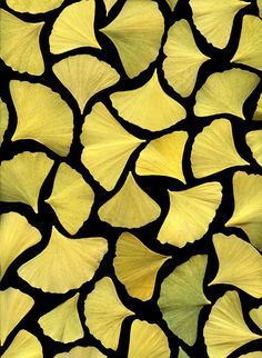 36388 Ginkgo biloba by horticultural art, via Flickr