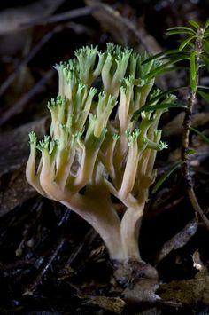 Green-tipped Coral Fungus (Ramaria apiculata) ~ © Agorastos Papatsanis