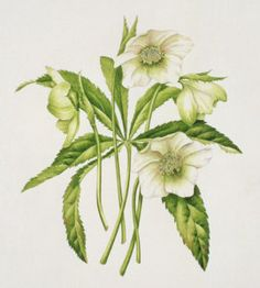 Green Hellebore by Sally Crosthwaite