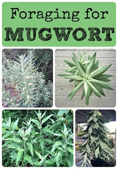 Foraging for Mugwort Mugwort is an edible and medicinal plant that has many uses. Foraging for mugwort is easy and fun, and it grows almost everywhere! Healing Herbs, Medicinal Plants, Natural Healing, Edible Wild Plants, Herbal Magic, Plant Identification, Wild Edibles, Herbal Medicine, Just In Case