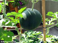 Growing watermelons on pinterest how to grow growing cantaloupe and