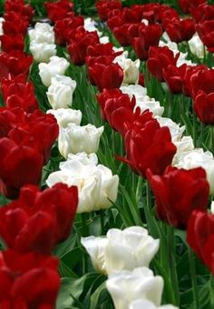 Red & White spring Tulips!
