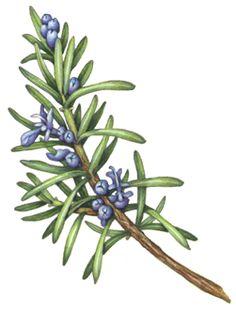 Botanical illustration of a sprig of rosemary