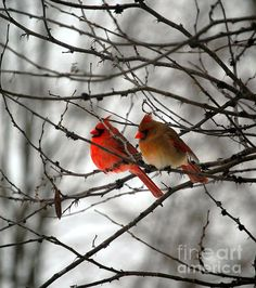 True Love Cardinals - by Peggy Franz