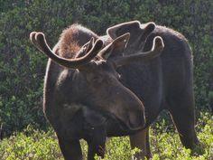 north park colorado moose...what a beauty