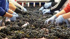 La DOC La Rioja ha recogida ya 105,7 millones de kilos de uva desde que iniciase la vendimia el 20 de agosto | Agronews Castilla y León