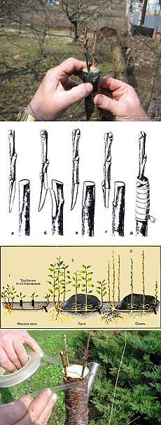 Tree grafting Informations About Прививка деревьев Pin You can. Grafting Fruit Trees, Grafting Plants, Organic Vegetables, Growing Vegetables, Growing Tomatoes, Culture Tomate, Organic Gardening Tips, Garden Guide, Horticulture