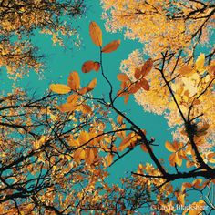 Autumn Gold - Austin Texas in Fall Photograph by PictureBook #austin #austintexas #fall #foliage #autumn #golden #leaves #gold #ATX #turquoise #sky #nature #etsy #photography