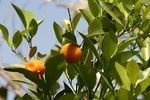 How to Care for a Satsuma Mandarin Orange Tree Plant | eHow