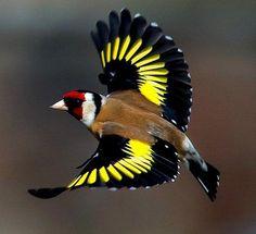 Colorful birds, Pretty birds, Beautiful birds and Tropical birds. Pretty Birds, Beautiful Birds, Animals Beautiful, Tropical Birds, Colorful Birds, Goldfinch, Bird Drawings, Bird Pictures, Little Birds