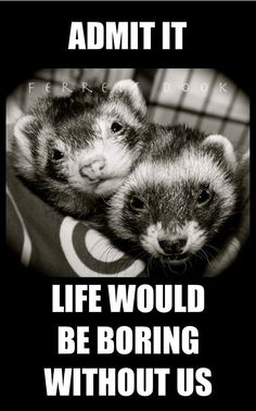 Ain't that the truth! Ferrets Care, Baby Ferrets, Funny Ferrets, Pet Ferret, Animals And Pets, Baby Animals, Funny Animals, Cute Animals, Animals Beautiful