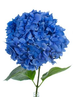 die 192 besten bilder von blaue blumen blumen pflanzen sch ne blumen und exotische blumen. Black Bedroom Furniture Sets. Home Design Ideas