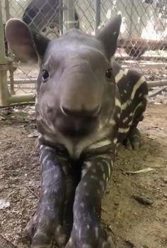 A tapir enjoying a snack Cute Funny Animals, Cute Baby Animals, Cute Dogs, Cute Animal Humor, Smiling Animals, Super Cute Animals, Happy Animals, The Animals, Nature Animals