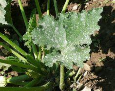Leche para evitar hongos en vuestras plantas