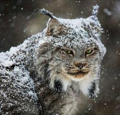 Photo by Lynx photographed after a successful reintroduction project in Colorado, USA. Wildlife Nature, Nature Animals, Animals And Pets, Cute Animals, Wild Animals, Big Cats, Cool Cats, Cats And Kittens, Beautiful Creatures