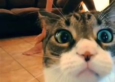 The Scotsman Dec 2014 Highlights of the tenth Glasgow Film Festival include the Cat Video Festival Cat And Dog Videos, Funny Cat Videos, Funny Cats And Dogs, Funny Animals, Glasgow Film Festival, Funny Cat Wallpaper, Scary Faces, Cat Drawing, Cat Gif