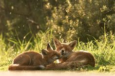 Two foxes relaxing together in the grass.