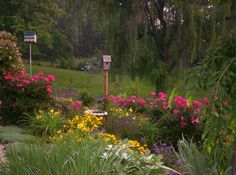 Memory garden blooms with knockout roses,Japanese iris,coreopsis, coneflower,speedwell, dianthus,catment,happy return daylily, sage and robin hood rosa,night owl rose,american cl rose and clematis on fence and bird house poles.