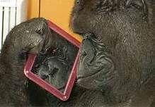 koko the gorilla - Bing Images