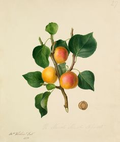 Augusta Withers -- The Musch Musch Apricot -- Fruit, Vegetables and Herbs -- RHS Prints