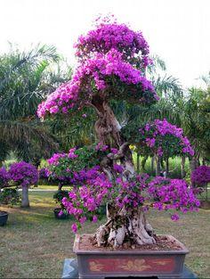 Image from http://bonsaibark.com/wp-content/uploads/boug6.jpg.