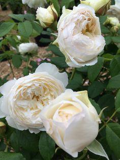"""Rosier grimpant anglais""""Claire Austin"""" (david austin) www.filroses.com #davidaustinroses #rosiersgrimpants #climbingroses #roses #rosiers #rosiersanglais #englishroses"""