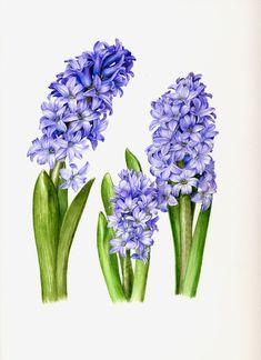 Floral Art - Roger Reynolds Botanical Art - Hyacinths