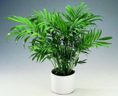 Non-toxic to cats: Bamboo Palm - Chamaedorea elegans. Also called Parlor Palm and Good Luck Palm - good for low light, doesn't require direct sun Houseplants Safe For Cats, Cat Safe Plants, Ficus Pumila, Aquarium Terrarium, Bamboo Palm, Indoor Palms, Natural Air Purifier, Easy Pets, Flowers