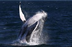 Scientists know why whales leap out of water, and it's probably not what you'd expect Science may not have all the answers, but it's just provided some pretty significant insight as to why whale