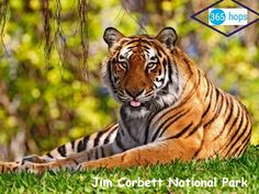 Visit Jim Corbett National Park The Oldest National Park In India >>> The Jim Corbett National Park has four safari zones Dhikala, Jhirna, Bijrani and Durga Devi and regular safari tours are conducted in each of these zones both in the mornings and the evenings with nearly thirty jeeps entering the park at a time. >>. #JimCorbett, #NationalPark, #JeepSafari, #ElephantSafari, #Wildlife, #India, #365hops