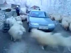 http://alyssatalkingbackwards.blogspot.com/2012/02/sheep-cyclone-car-ewe-shall-not-pass.html Sheep Cyclone: Car, ewe shall not pass We have you surrounded. C...
