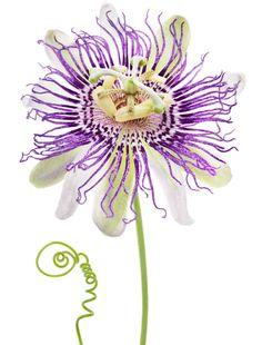 Workman Publishing Flowers Passiflora Caerulea Passion Flower