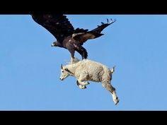 Cách đại bàng săn mồi to gấp nhiều lần cơ thể bái phục - Eagle vs Fox