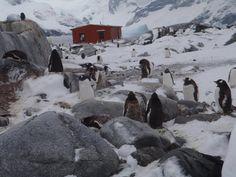 Gentoo Penquin Colony at Petermann Island, Antarctica (March, 2012)