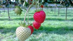 Pick Your Own at Parkside Farm, Enfield #cooking #recipes