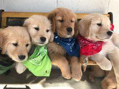 Current Litters | Cielos Golden Retrievers Golden Retriever Collie Mix, Retriever Puppy, Puppy Litter, Golden Retrievers, Puppies, Doggies, Animals, Animales, Animaux