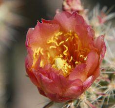 Buckhorn Cholla in the Sonoran Desert