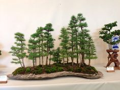 2014 AABS Show in Michigan.  Larch forest in slab