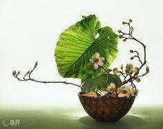 コロンとした陶器鉢の丸みと呼応するような、くわずいもの葉。もくれんがあたたかみを添えます。花材:もくれん、くわずいも 花器:陶器鉢 Alocasia odora leaf seems to resonate against the rotundity of the ceramic bowl. Magnolia quinquepeta augments the warm feeling. Material:Magnolia quinquepeta, Alocasia odora Container:Ceramic bowl #ikebana #sogetsu