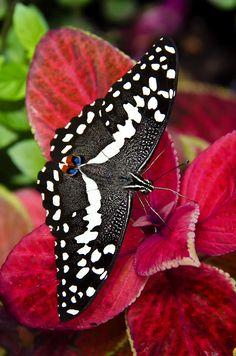 ~~Swallowtail Butterfly by Saija Lehtonen~~