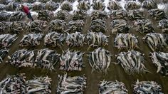 The mass slaughter of sharks is unsustainable (JAPAN TIMES/photo: Kesennuma, Japan 2011) http://www.japantimes.co.jp/life/2013/03/09/environment/the-mass-slaughter-of-sharks-is-unsustainable/# @SeaShepherd #defendconserveprotect
